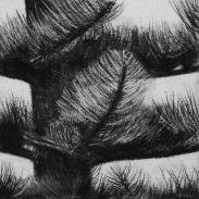 Norfolk Pine 2011